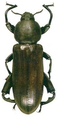 <i>Pheugonius mjoebergi</i> Ferrer & Moragues 2000 - This is largest Tenebrionidae of the world.